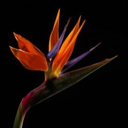 Fleur africaine 1 © Francis Barrier