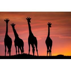 Girafes du soir © Lionel Maye